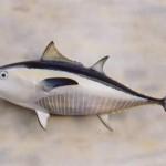 Yellowfin Tuna (replica fish)