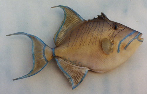 Anglers Art taxidermy saltwater fish taxidermy galleries