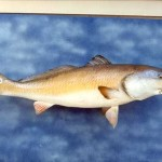 Redfish or Red Drum