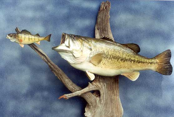 Display options for Anglers Art custom fish taxidermy in