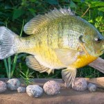Bluegill ? or Bluegill Pumkinseed Hybrid?