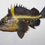 China Rockfish (replica)