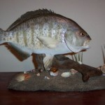 Surf Perch on seabed pedestal