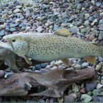 Brown Trout (replica)