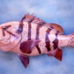 Rockfish????? (replica painted from photo)