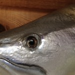 Seatrout eye detail