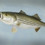 Striper or Rockfish (replica)