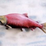 Sockeye Salmon (spawning colors)