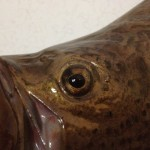 Mottled gold eye in tripletail