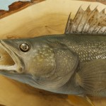 Walleye replica (museum grade)