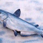 Blue Catfish (fish replica)