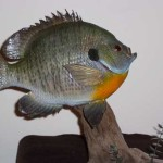 Fat Bluegill