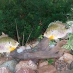Bluegill Pair (pedestal)